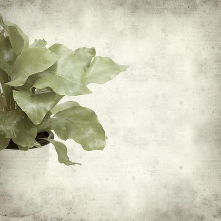 unfurling: textured old paper background with bird nest fern plant