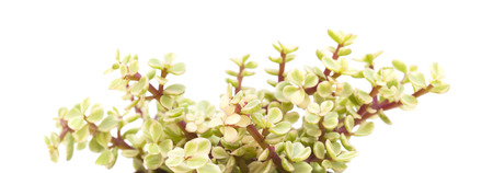 jade plant: Portulacaria afra succulent plant isolated on white background Stock Photo
