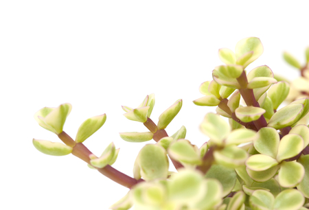 Portulacaria afra succulent plant isolated on white background Stock Photo