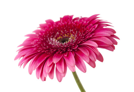 bright pink gerbera isolated on white background Stock Photo