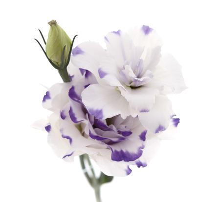 white and blue Lisianthus flower isolated on white background