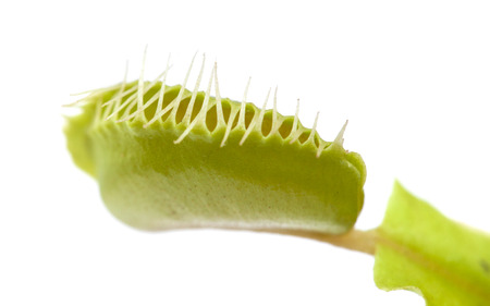 triggered: Venus flytrap plant isolated on white background Stock Photo