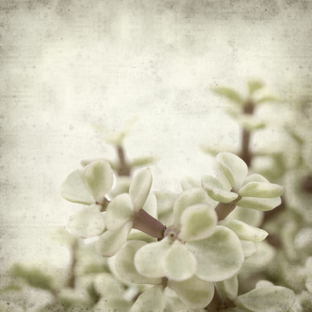 jade plant: textured old paper background with Portulacaria afra succulent plant Stock Photo