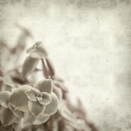 marginalis: textured old paper background with succulent plant crassula marginalis
