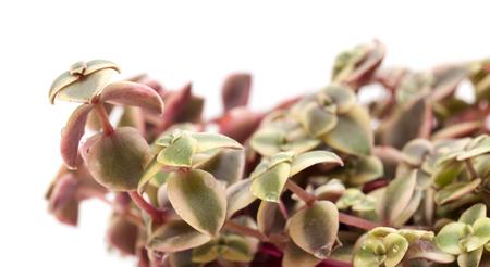 marginalis: Crassula marginalis fleshy leaves isolated on white