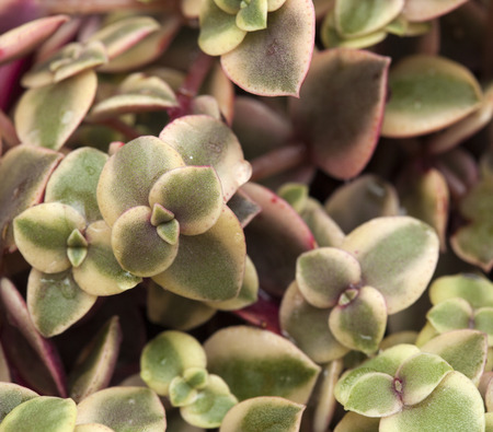 fleshy: Crassula marginalis fleshy leaves natural floral background