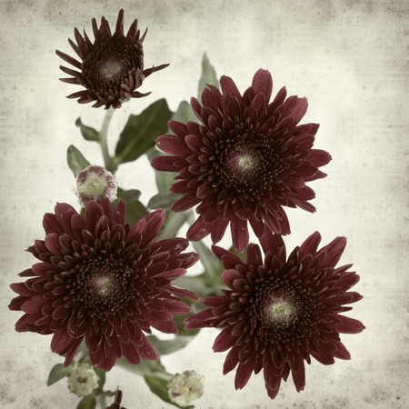 textured old paper background with dark red spray chrysanthemum Stock Photo