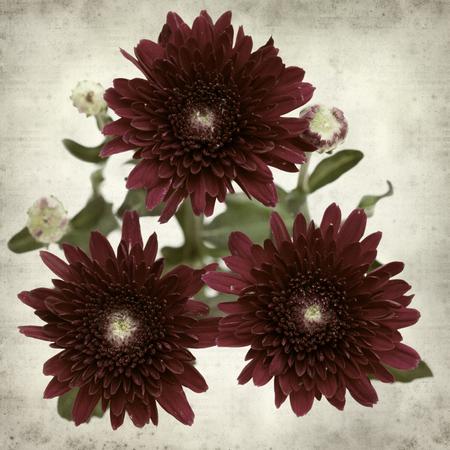 floral grunge: textured old paper background with dark red spray chrysanthemum Stock Photo
