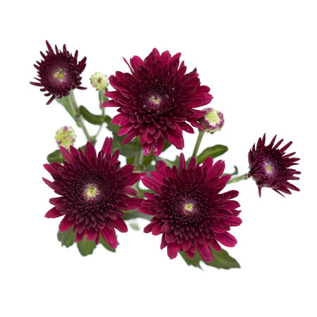 dark red spray chrysanthemums isolated on white