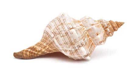 conch shell: Pleuroploca trapezium, trapezium horse conch shell isolated on white Stock Photo