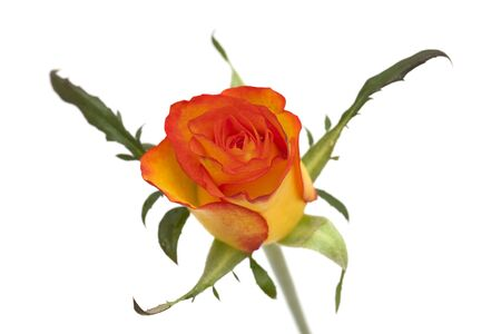 orange and yellow rose isolated on white background