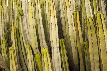 canariensis: flora of Gran Canaria - background of Euphorbia canariensis, symbol of Gran Canaria