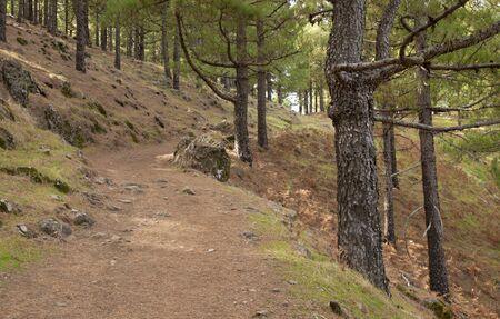canariensis: Canarian Pine, Pinus Canariensis - path through the woods