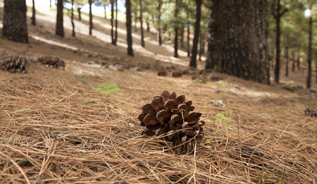 Canarian Pine, Pinus Canariensis - large cones scattered on the forest floor