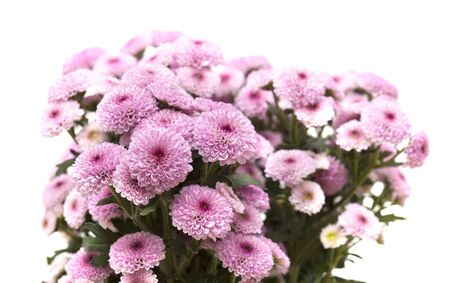 pink spray chrysanthemum with darker centers isolated on white Stock Photo