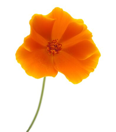 californian: bright yellow and orange californian poppy isolated on white
