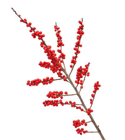 Ilex verticillata or winterberry branches isolated on white background