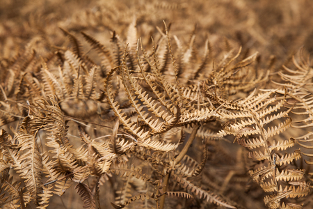 brake fern: flora of Gran Canaria - dry Pteridium aquilinum winter background