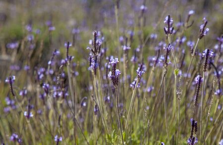 canariensis: blooming canarian lavender, Lavandula canariensis, natural background