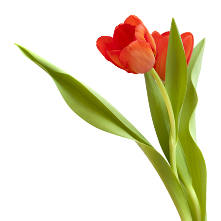 red and yellow tulip flowers isolated on white background Stock Photo