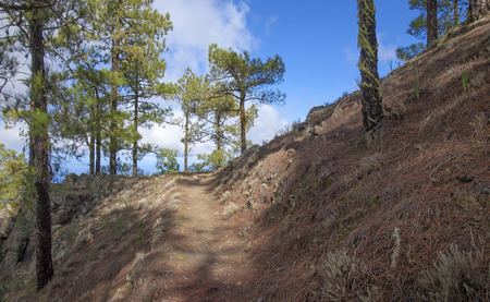 central Gran Canaria,  Nature Park Tamadaba, , canarian Pine trees on the slopes, footpath Stock Photo