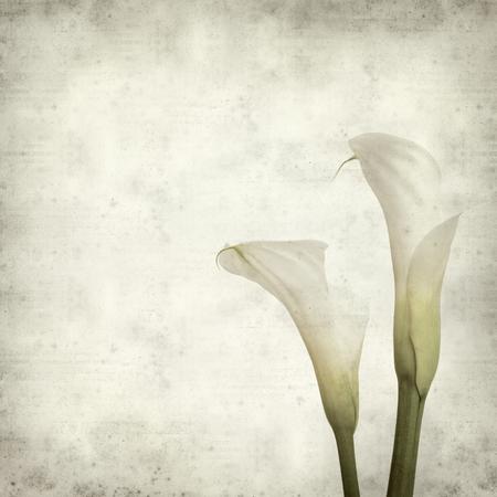texture di sfondo vecchia carta con calle bianco fiore di giglio