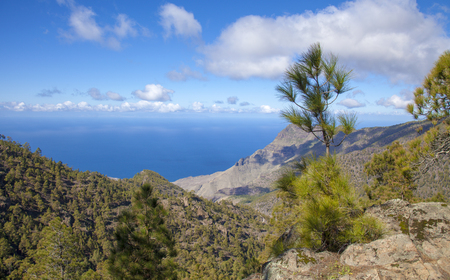 central Gran Canaria,  Nature Park Tamadaba, , canarian Pine trees on the slopes Stock Photo