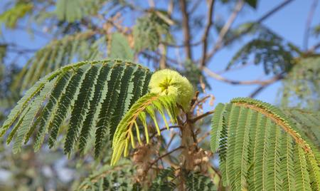 Flora of Gran Canaria - Albizia distachya, australian mimosa Stock Photo