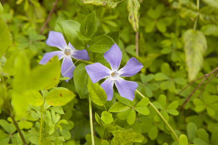 Flora of Gran Canaria - bigleaf periwinkle,  introduced species, background of oxalys leaves, ditto