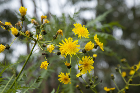 Flora of Gran Canaria - flowering endemic Sonchus canariensis, tree dandelion Stock Photo
