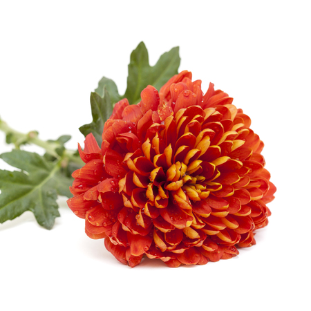 bitter orange: orange and yellow chrysanthemum isolated on white Stock Photo