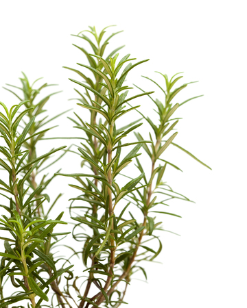 pest control: young rosemary plant isolated on white background Stock Photo