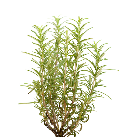 cutouts: young rosemary plant isolated on white background Stock Photo