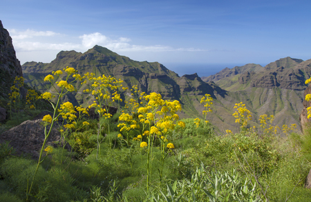 inaccessible: Flora of Gran Canaria, giant dennel plants Ferula linkii flower around hiking path; mountains of the special reserve Guigui in the background