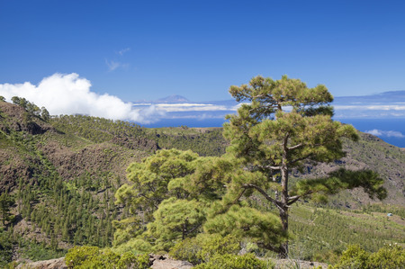 West Gran Canaria in February, hiking path through old pine forest around Integral Nature Reserve Inagua, Teide on Tenerife visible in far distance