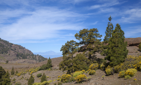 Central Gran Canaria, protected area of Integral Nature Reserve Inagua, Canarian Pine trees Stock Photo