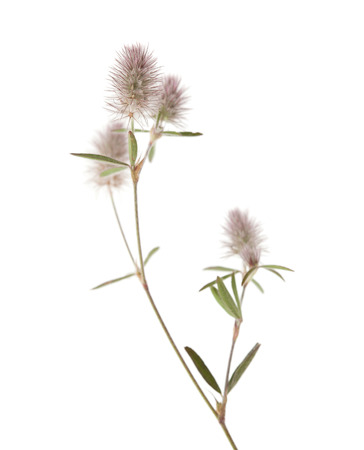 long bean: flora of Gra Canaria - Trifolium arvense, hare foot clover, isolated on white