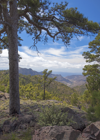 Central Gran Canaria, edge protected area of Integral Nature Reserve Inagua, view towards valley of Mogan; one of the few old pines not affected by forest fire of 2007, to the left Stock Photo