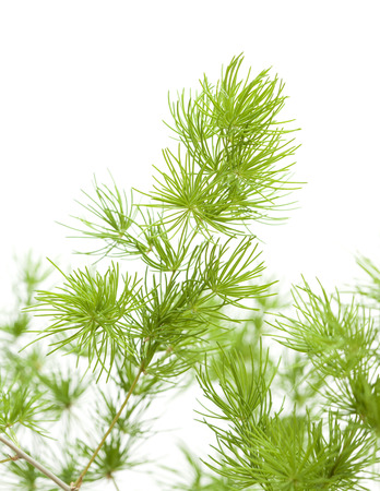 green fluffy asparagus branches for flower arrangement isolated on white background