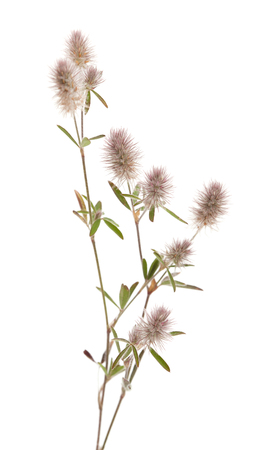 flora of Gran Canaria - Trifolium arvense, hare foot clover, isolated on white