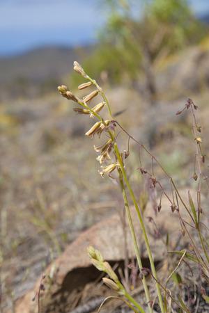 flora of Gran Canaria - Dipcadi serotinum, bulbous plant, flowers in Internal Nature Reserve Inagua