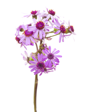 flora of Gran Canaria - Pericallis webbii, locally called May flower endemic to the island, isolated on white