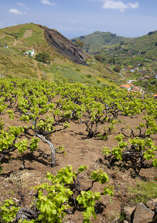 terroir: Central Gran Canaria in April,new leaves on old vines, vineyards around San Mateo with old vine plants