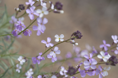 flora of Gran Canaria - Erysimum albescens, wallflower endemic to the island