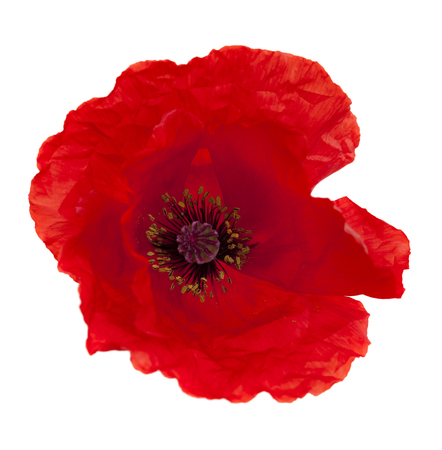 bright red poppy flower isolated on white background
