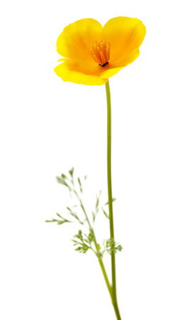 cup four: Eschscholzia californica, California poppy isolated on white