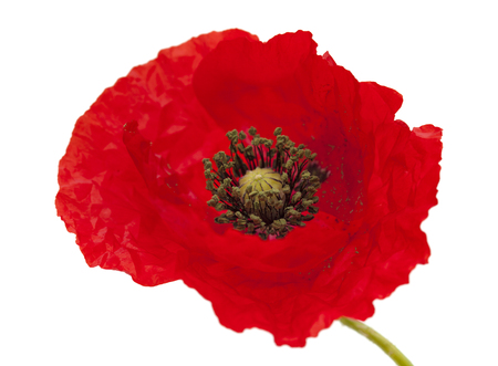 soldiers: bringt red poppy flower isolated on white background