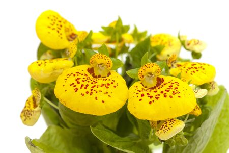 yellow Calceolaria plant  isolated on white background