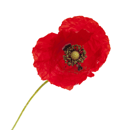 translucent red: bringt red poppy flower isolated on white background