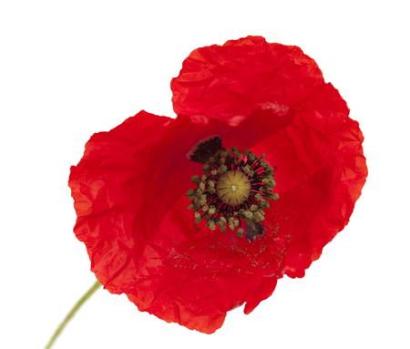 bringt red poppy flower isolated on white background